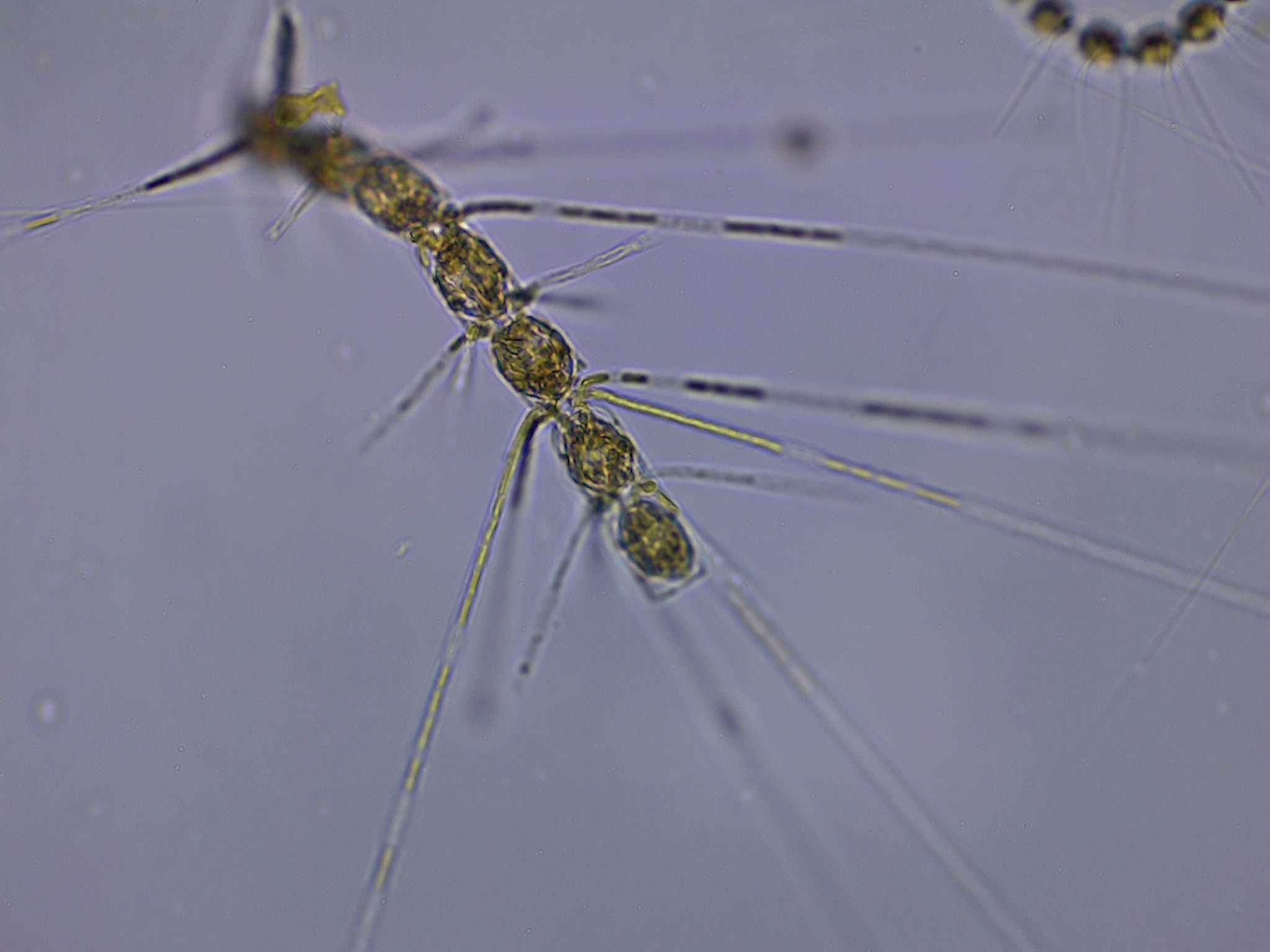Concavicornis