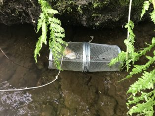 A successful fish trap with fresh salmon eggs lured in a couple fry in Suntaheen Creek