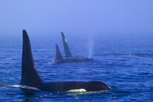 photo of Family Orca Whale Group Traveling Fog