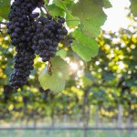 Tannat-with-Sunburst