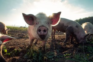 online dating pig experiment