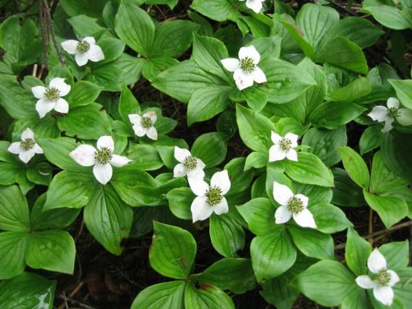 Bunchberry, Cornus canadensis
