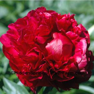 Peony Henry Bockstoce SOLD OUT