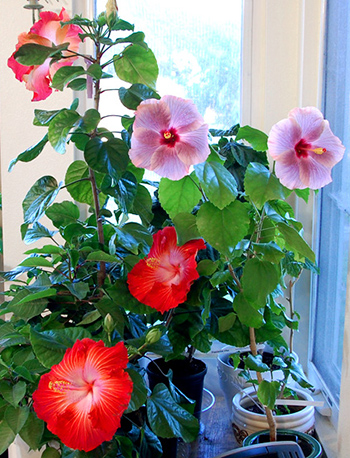 Hibiscus 'Hibiscus at Christmas'