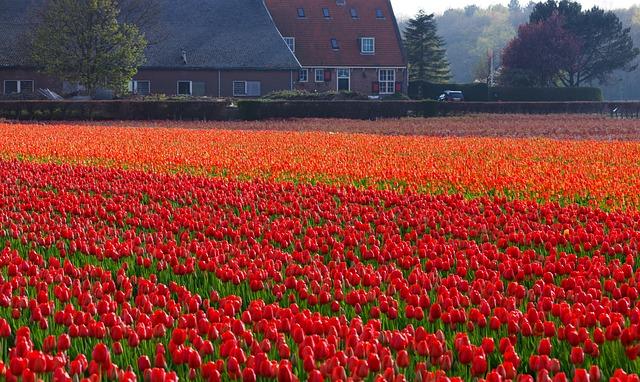 tulips-21639_640
