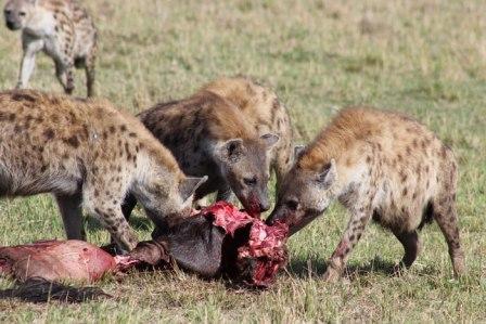 Resultado de imagen de hienas