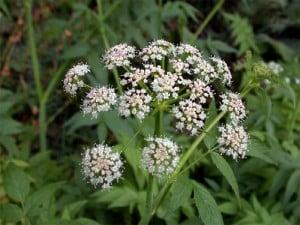 Flores alcaravea
