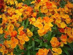 Propiedades medicinales alhelí amarillo