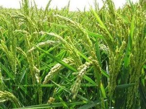 propiedades del arroz asiático