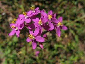 centaura menor flores