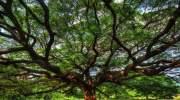 De grootste boom van Thailand