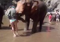 Thaise olifant wassen, niet ongevaarlijk