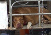 Aanval door honden in Thailand