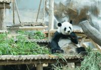 pandagekte in thailand