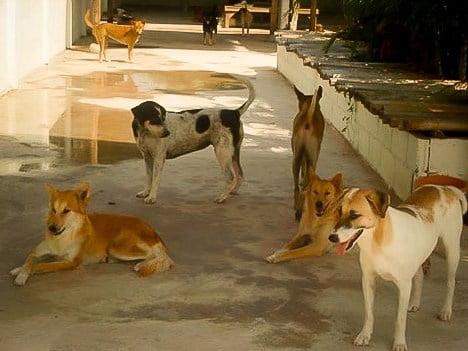 Aangevallen door zwerfhonden in Thailand: het gebeurt vaker dan je denkt