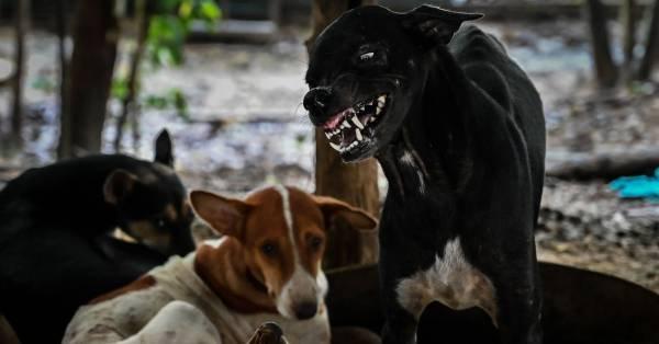 Hondsdolheid in Thailand: steeds meer Nederlanders getroffen