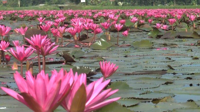rode lotus in Phayao