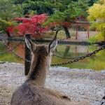 Deer @ Todaiji Temple, Nara, Japan