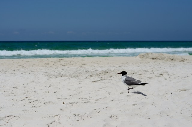 Seagull @ Panama City Beach, Florida