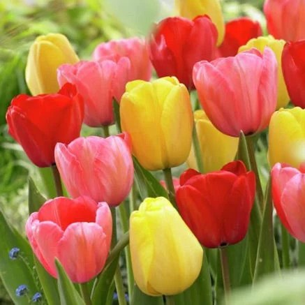 Flower Bulbs   Sustainable Gardening   High Country Gardens Tulip Flower Bulbs