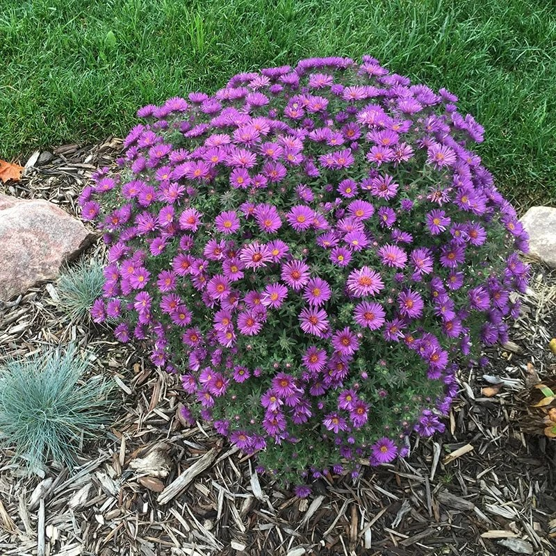 Purple Dome New England Aster Aster Novae Angliae Purple Dome High Country Gardens