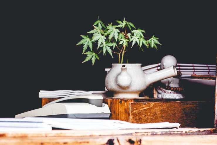 Growing black cannabis