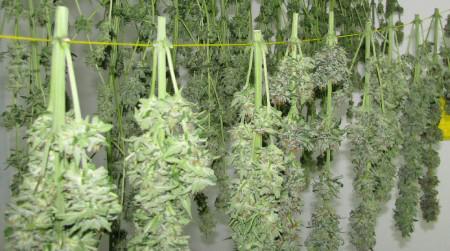 Marijuana hanging and drying