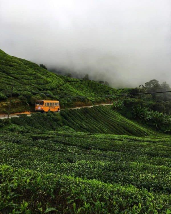 Cameron Highlands tea fields