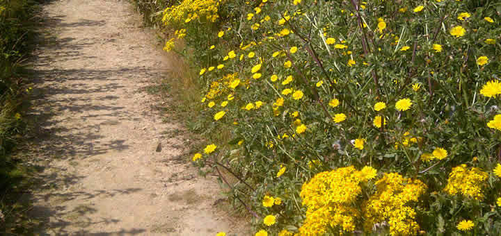 ragwort-invasive-weed