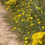 Ragwort - One of many invasiv weeds in the UK