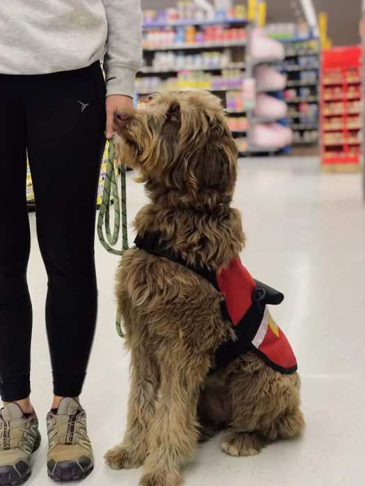 service dog in training at grocery store