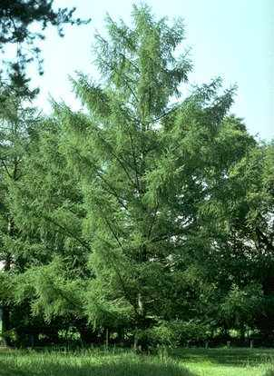 Tremendous Trees Larch Highland Titles