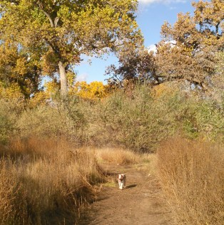 Tynan running free in the Bosque. Like, Just like New England, autumn is the best time to be in New Mexico.