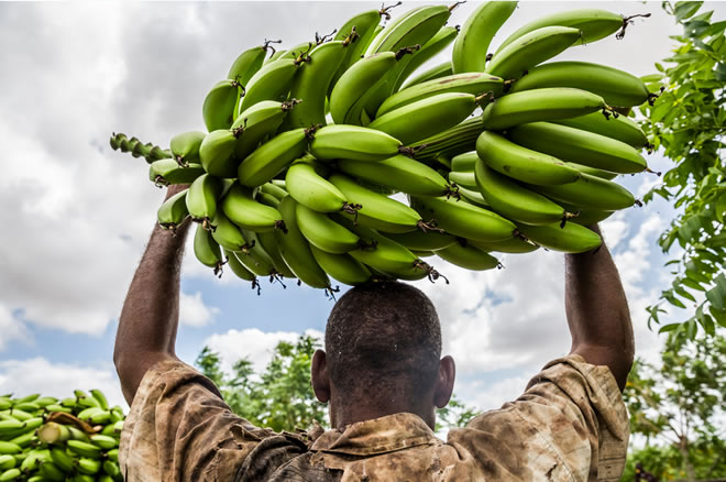 After Barren Years In Somalia Signs Of Growth In Bananas