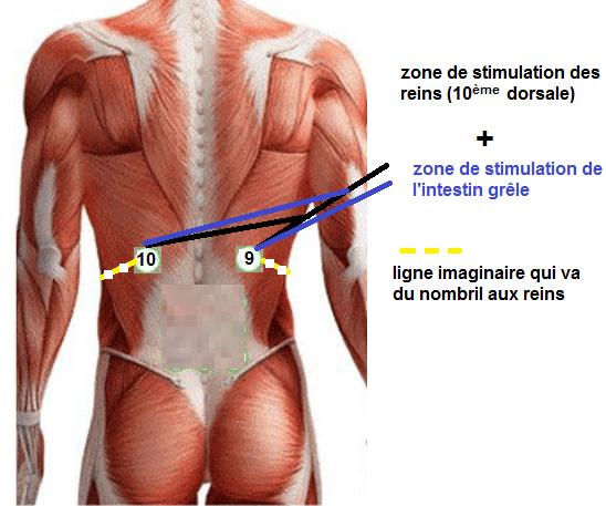 localisation intestin grêle