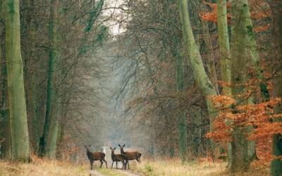 biches dans la forêt de Compiègne