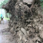 An uprooted tree
