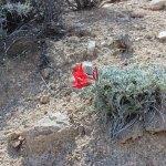 Scarlet Milkvetch