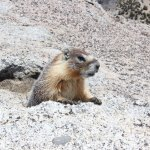 Marmot checks me out on top of Mt. Hoffman
