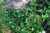 MST8-Clintonia lily
