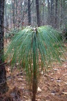 Fall Lake - Longleaf pine