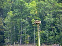Blue Jay Point - Osprey Nest