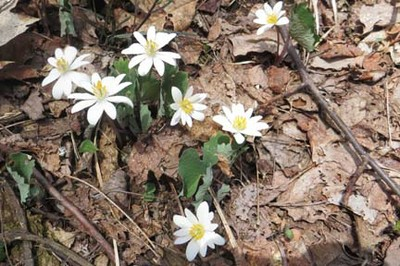 Brown Gap to Lemon Gap - Blood Root