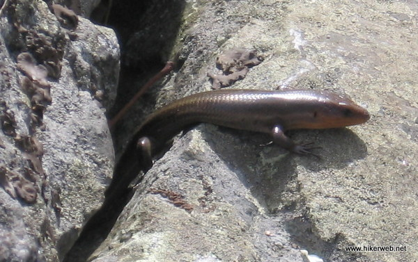 Five Lined Skink at Delaware Water Gap