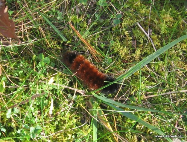 Woolly Bear Caterpillar.