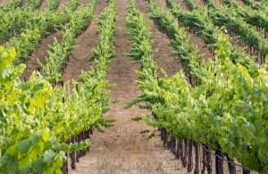 Sunset Walk Through the Vineyards - Sonoma Valley | Hike Then Wine