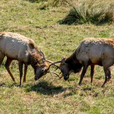 Bugling Tule Elk – Tomales Point