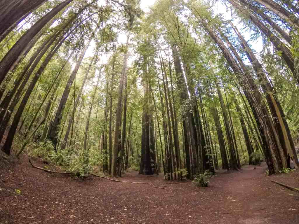 Sloshing Our Way Thru the Forest of Giants to Sempervirens Falls - Big Basin Redwood SP | Hike Then Wine