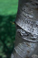 Aspen Tree HDR