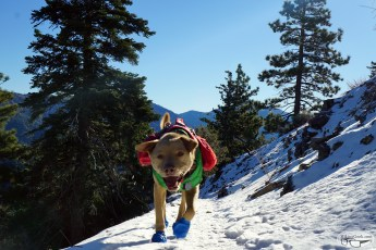 Hiking with Dogs: Mt. Baden-Powell, January 15 2016
